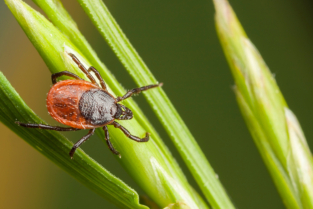 How to avoid and treat tick bites in the wild