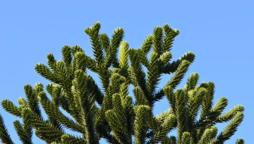 1,000 COOL THINGS ABOUT VANCOUVER | Its Scattered 'Living Fossil' Monkey Puzzle Trees