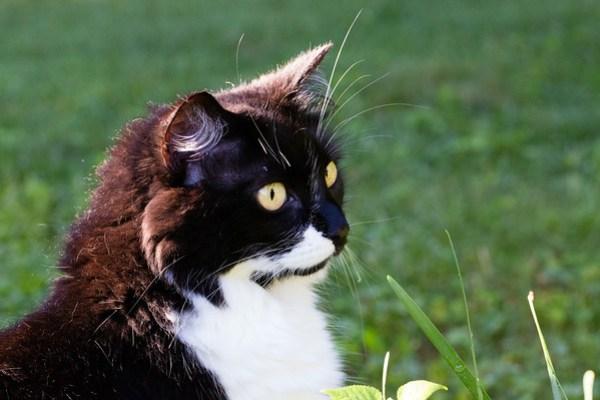 Tuxedo Cat in the Sunshine | Sidewalk Shoes