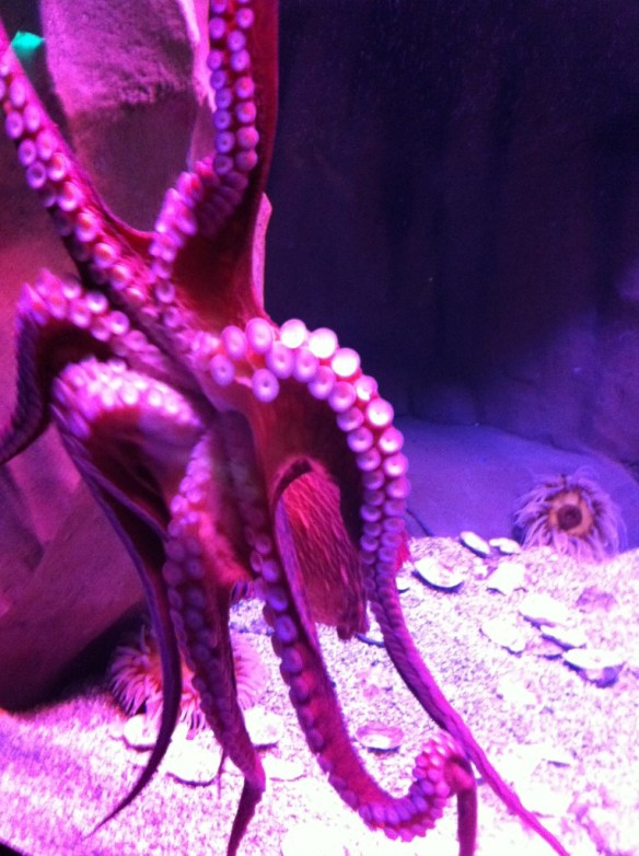 A slippery customer, this giant octopus didn't want to pose for a photo.
