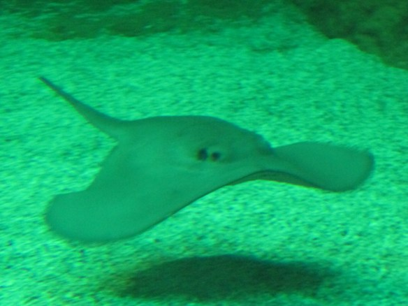 "A ray, the most elegant swimmer of all, with its ""wings""."