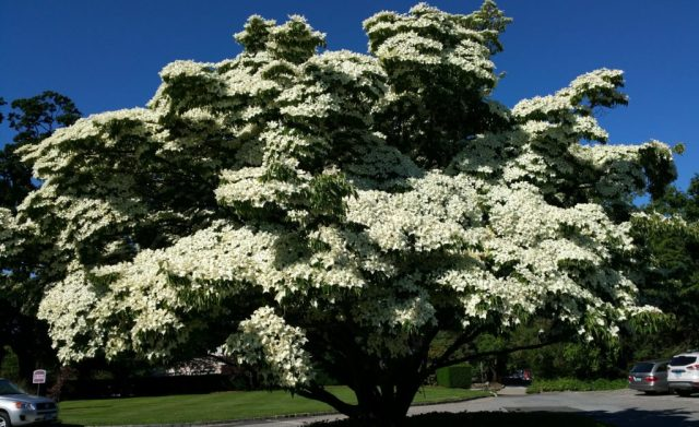 Beautiful whit, dogwood tree