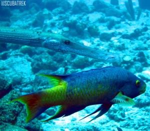 Spanish Hog Fish