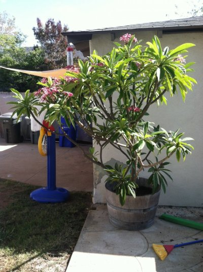 For Sale/Trade - Plumeria Plants and Cuttings | San Diego ...