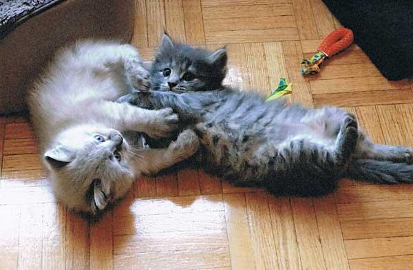 Siberian kittens Elmo and Elu at 4 weeks old