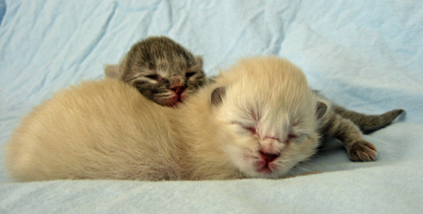Siberian kittens Elu (back) and Elmo at 5 days old