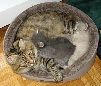 Siberian cat Calina with her kittens Elu and Elmo
