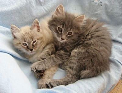 Siberian kittens Elmo and Elu, Oct 7 2011