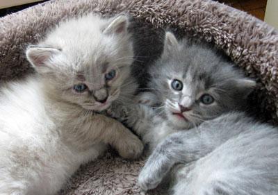 Siberian kittens Elmo and Elu