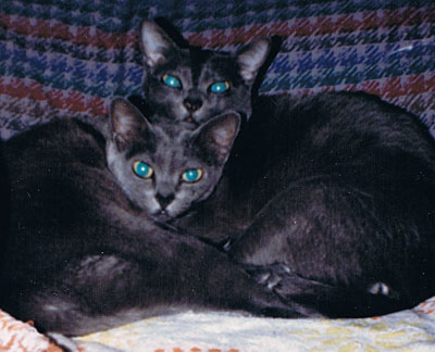 Two Korat cats