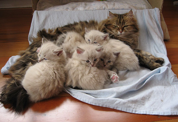 K Litter kittens at 4 weeks old with with mother Cici, 3 October 2016