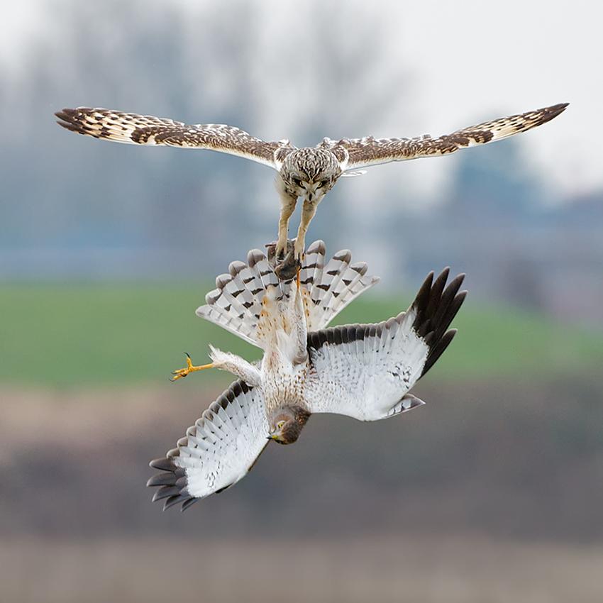Hawk vs owl - photo#5