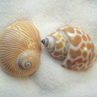 Seashell Names- Two Little Shells