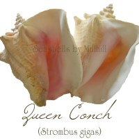 Shell Size and Age of Mollusk:  Queen Conch