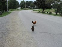 Why did the chicken cross the road? To get to Dr. Medina's Seasons of Smiles Dental office in Camden, Maine, of course!!