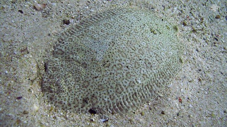 flounder-8