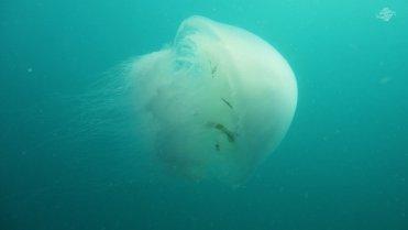 Giant Jellyfish 1366 x 768