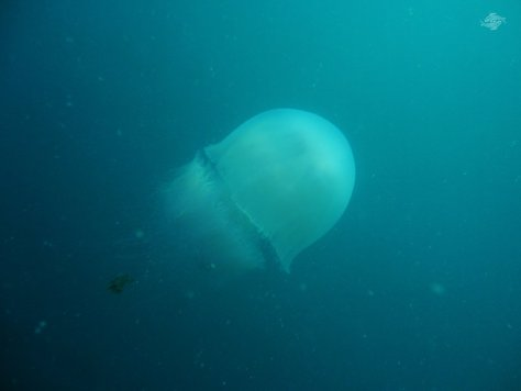 Giant Jelly with Trailing Fish 1024 x 768