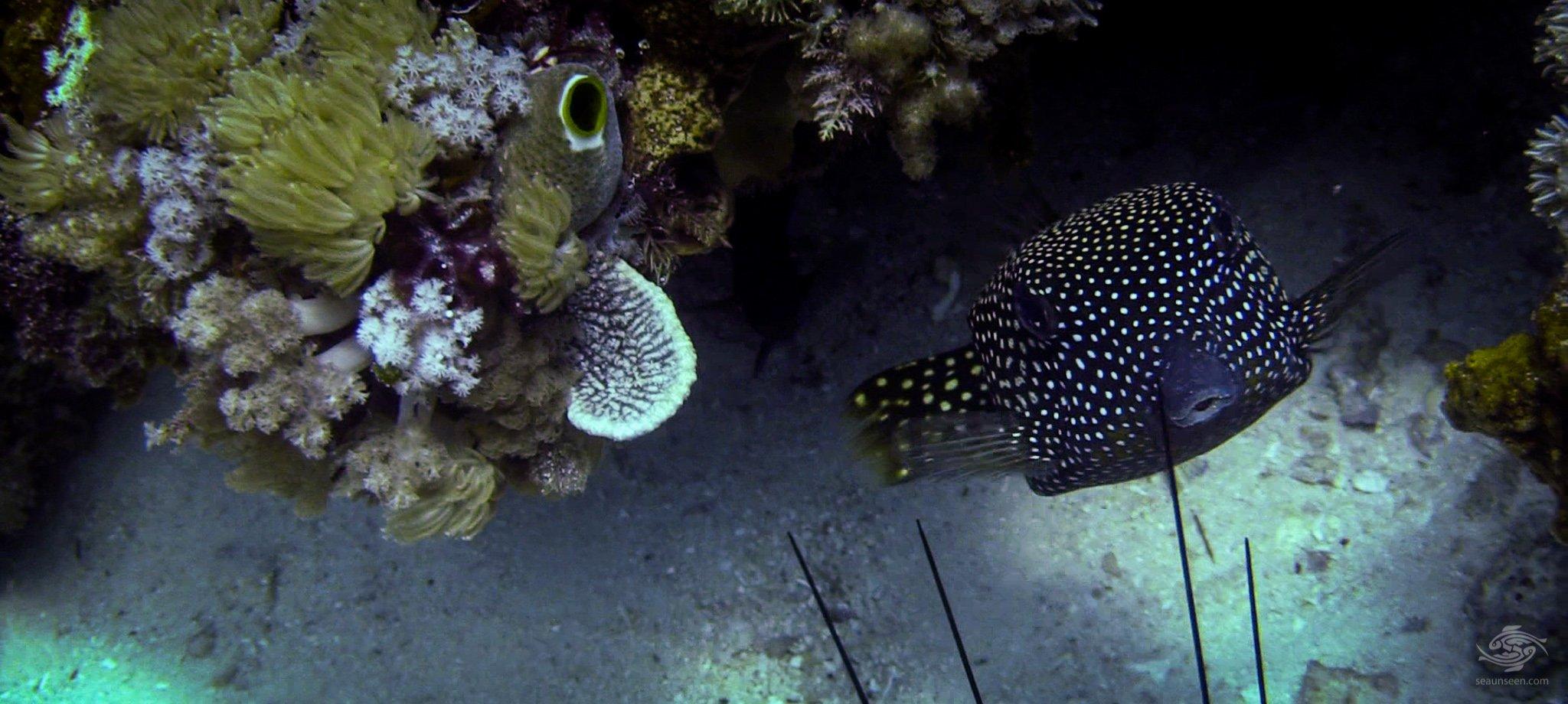 White Spotted Boxfish - Seaunseen
