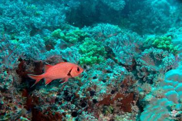 Blotch eye soldier fish at Powoni near Paje in Zanzibar