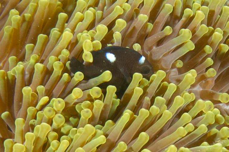 Domino huddling in an anemoneScuba diving Bongoyo patch Tanzania