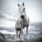Haflinger Posing 1