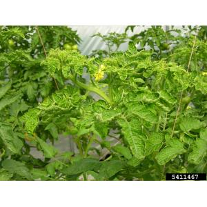 Indoor Turning Brown Dying Tomato Leaves Curling Up Response To Environmental Like Lack Or Media Newswire Story Tomato Leaf Roll Tomato Leaves Curling Up Tomato Leaves Can Curl