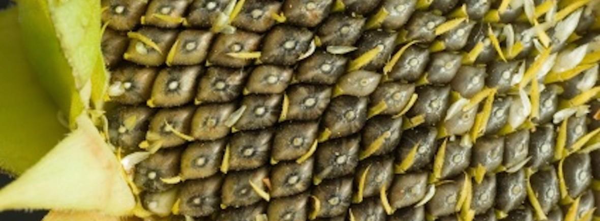 sun-seeds-close-1180x435