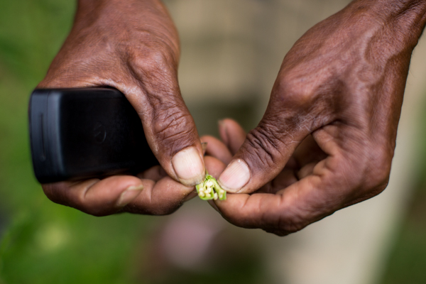 Farmer Angelino Soares Nuno breaks open a wild sesame seed pod in Maliana, Bobonaro © Conor Ashleigh/Seeds of Life