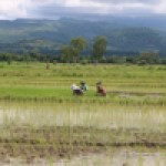 Agricultor are started planting rice at Tunubibi