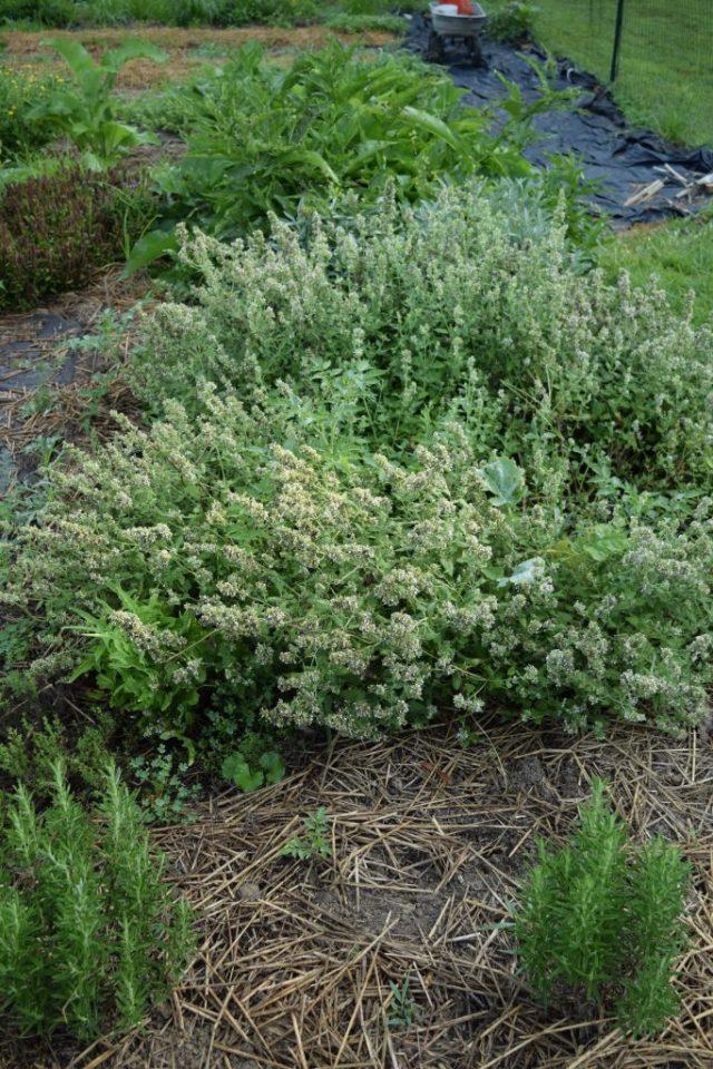 Herbs and Overgrown Catnip