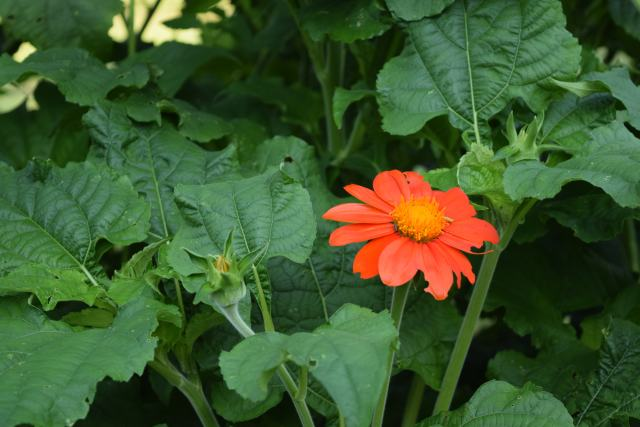 Mexican Sunflower - Pollinators and Hummingbirds love them