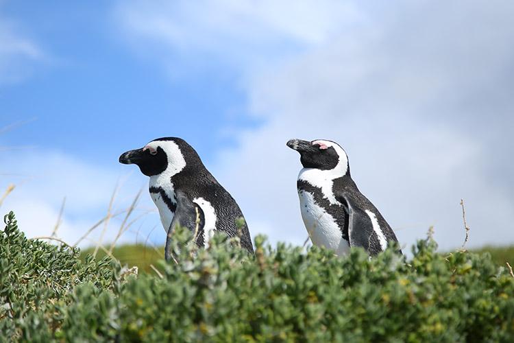 ケープタウン ボルダーズビーチ ペンギン