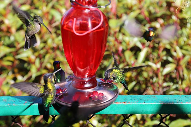 サンホセ コスタリカ ハチドリ