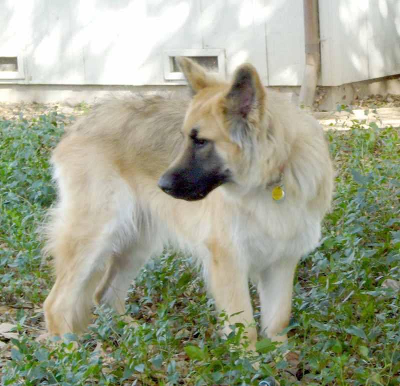 Large Of German Shepherd Long Hair