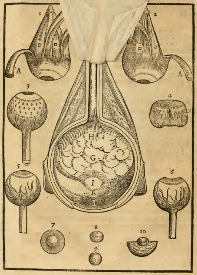 The mediate eye as represented in Bartisch in 1583. Here depicting its other humors. Flap anatomy between pages 8 and 9.