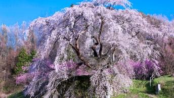 青空に映えるシダレザクラの名木、又兵衛桜。