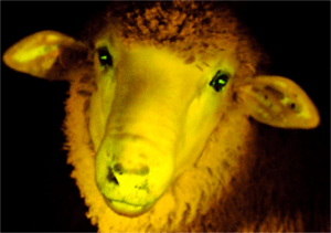 This sheep exists as a warning to never drink the highlighter water out of old liquor bottles.