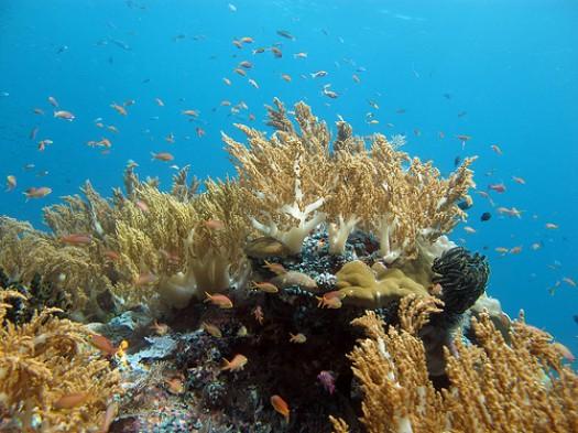 Casi 500 especies de coral