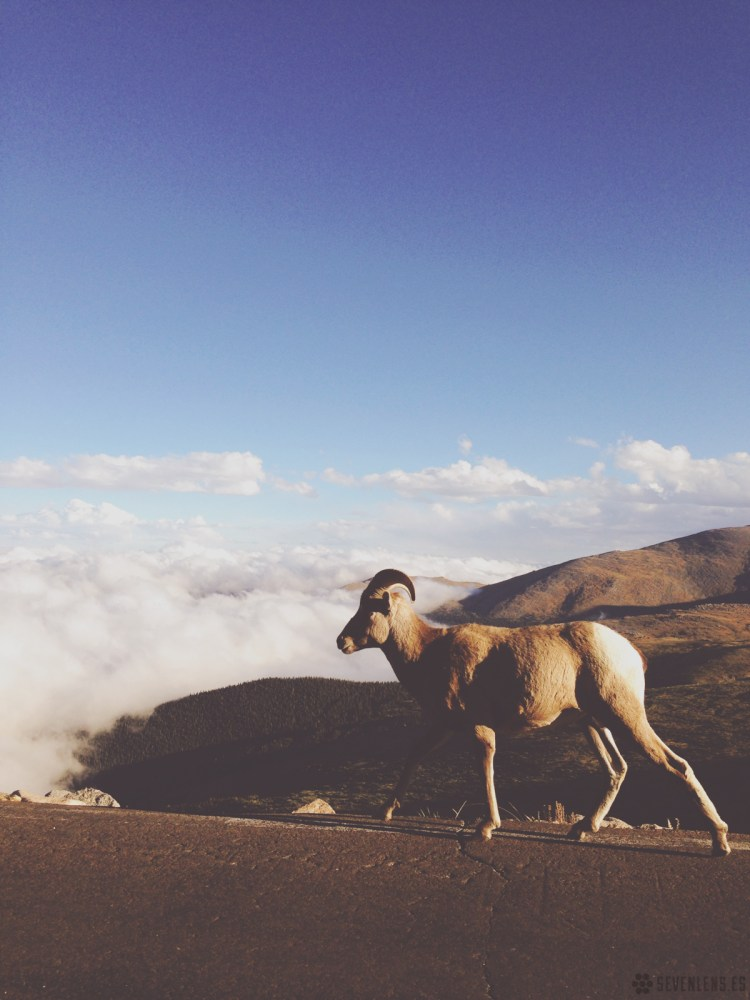 Bighorn on Mt. Evans