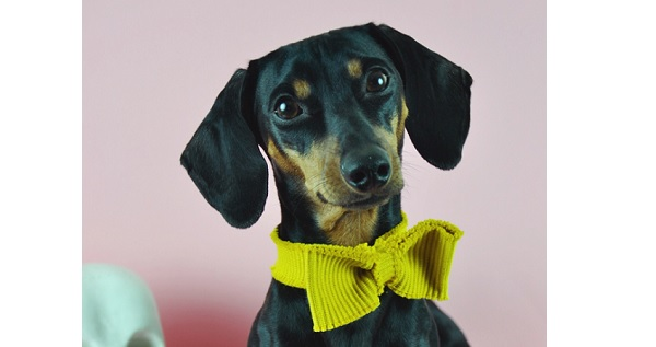 Tutorial: No-sew bow tie for your favorite pet