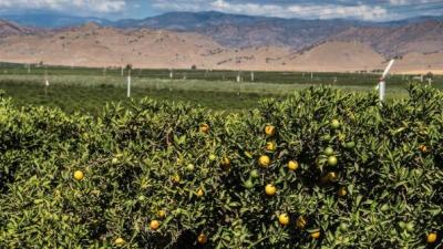 Citrus groves near Orange Cove, Calif.