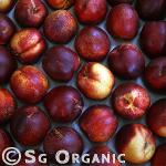 healthy organic nectarine