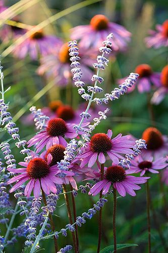purple coneflower on Shalavee.com