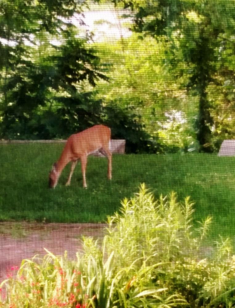 Backyard Deer on Shalavee.com