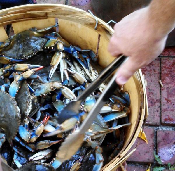 Maryland Blue Crabs on Shalavee.com