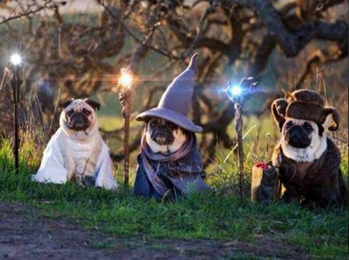 d&d memes wizard pugs