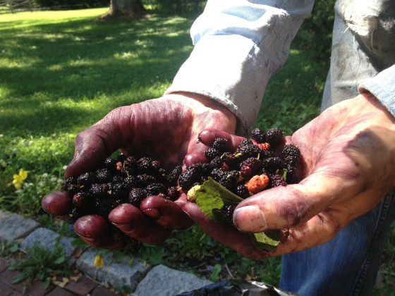 Mulberries make a great all natural dye for clothes!