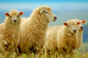 """""""I know my sheep and my sheep know me..."""""""