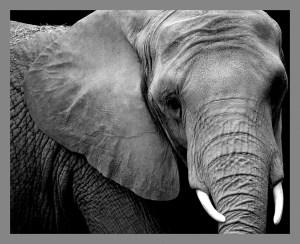 Elephant solo